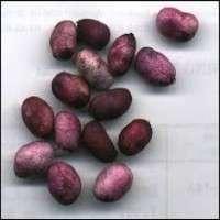 Jamun Seed