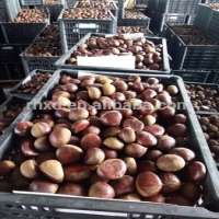 big size raw fresh chestnuts north market