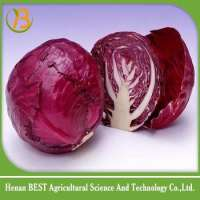 fresh indian cabbage