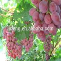 crop fresh seedless grape red globe grapes  Manufacturer