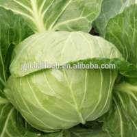 fresh cabbage  Manufacturer