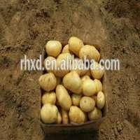 lady rosetta fresh potato