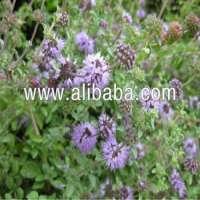 Mentha Pulegium Essential oil Pure and Natural Manufacturer