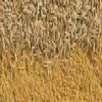 Indian Cumin Seeds Cassia Tora Seeds Cumin Seed Powder Manufacturer