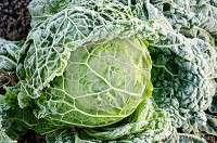 Frozen Green Cabbage