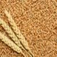 Wheat grains and flour Manufacturer