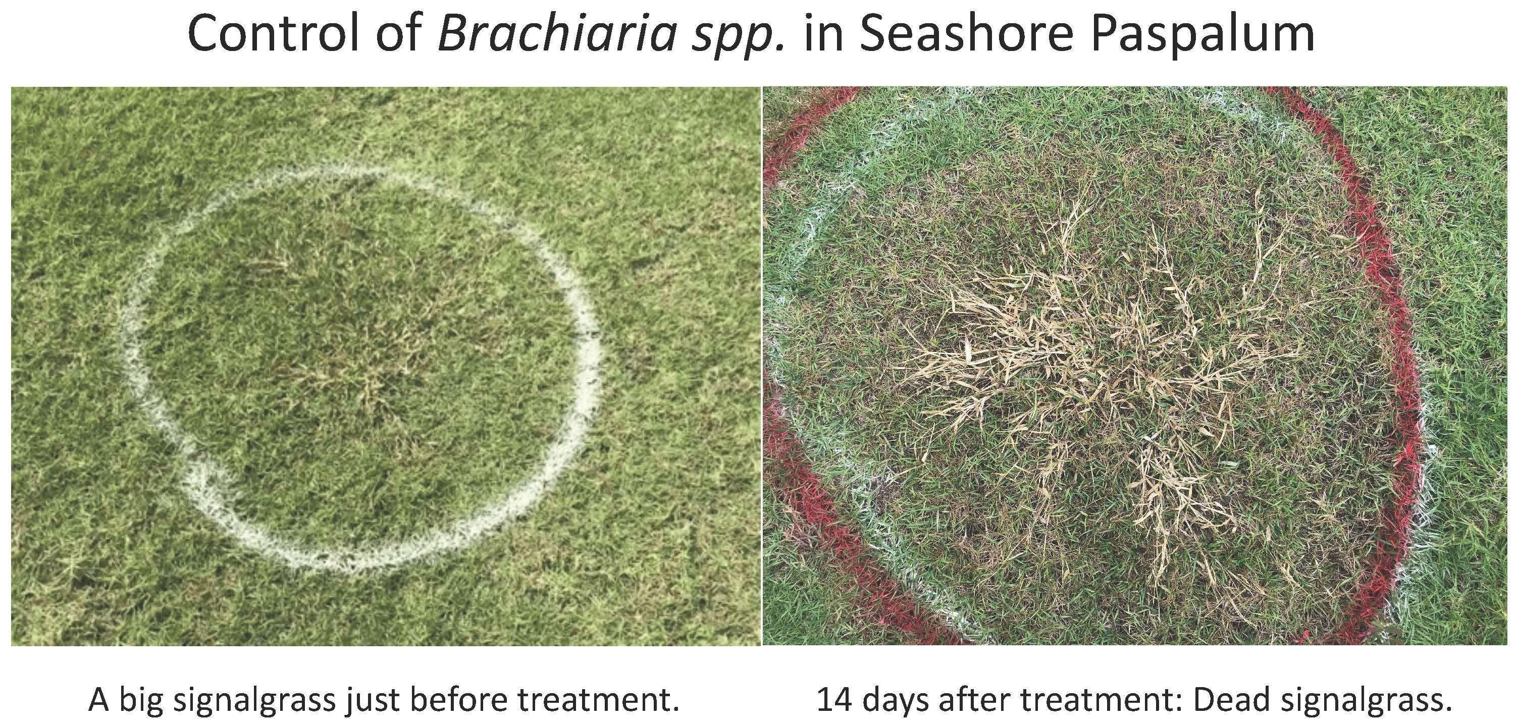 Grundlich (Post-emergent Brachiaria spp control herbicide in seashore paspalum)