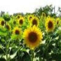 Energy Crude D2 mazut Sun Flower Oil Manufacturer