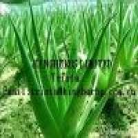 Aloe Vera Leaf extract Manufacturer