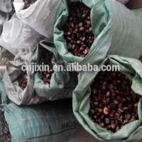 Organic Fresh Raw Sweet Chestnuts