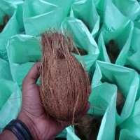Semi husked coconut Manufacturer