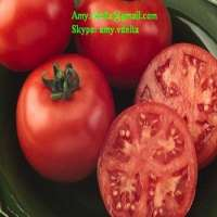 FRESH TOMATOES Manufacturer
