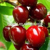 hot sale high quality new crop sweet fresh cherry