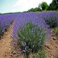 Lavender pure essential oil Manufacturer
