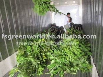 Foshan Greenworld Nursery Co Ltd Guangdong China