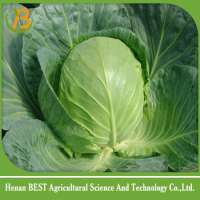 fresh white & green cabbage