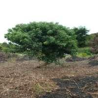 Clove Leaf Essential Oil Manufacturer
