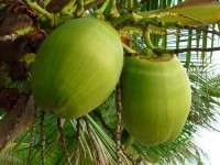 NATURAL TENDER COCONUT