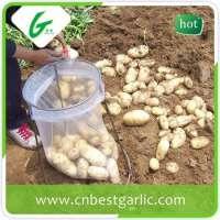 vietnam Fresh potato  Manufacturer