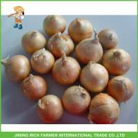 color full Onion Manufacturer