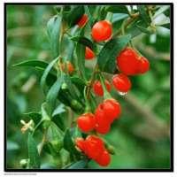 fresh cherry red tomato