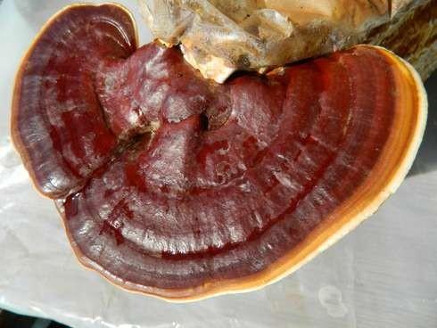 Ganoderma (Reishi) Mushrooms