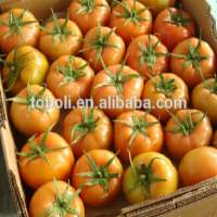 Fresh chinees tomatos Manufacturer
