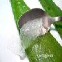 Aloe Vera Leaf Manufacturer