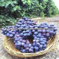 Campbell early fresh grape Manufacturer