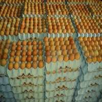Brown Table Eggs White and Brown Manufacturer