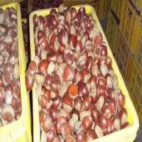fresh chestnut  Manufacturer
