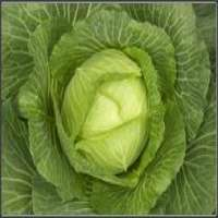 Green Cabbage Manufacturer
