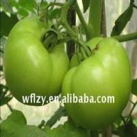fresh green tomato Manufacturer