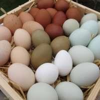 fresh chicken table eggs