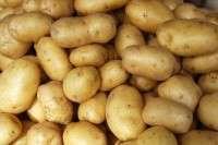 Fresh sweet potatoes Manufacturer