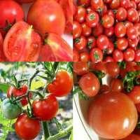 Tomato Manufacturer