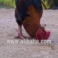 Dong Tao chicken Manufacturer