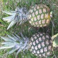 Pineapples Manufacturer