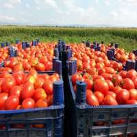 Red Tomato  Manufacturer