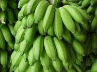 GREEN PREMIUM QUALITY FRESH BANANAS