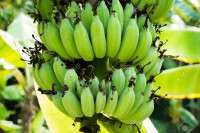 Organic green banana Manufacturer