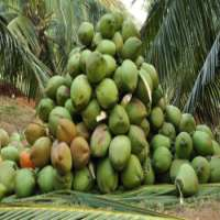 High Quaity tender coconut 1kg per pcs