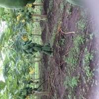 Fresh Fruit Papaya