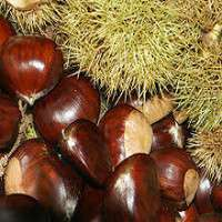 Chestnut Varities