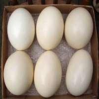 Fresh and Fertile Ostrich Egg