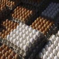 Fresh Chicken Brown & White Table Eggs  Manufacturer