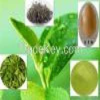 Green tea polyphenol Manufacturer