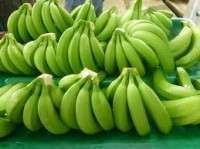 Fresh green bananas Manufacturer
