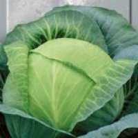 white head Cabbage  Manufacturer