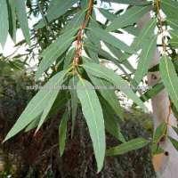 Eucalyptus Oil Beard Manufacturer
